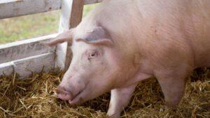 pesta, craioveni, porc